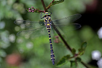 Gold ringed dragonfly - Cordulegaster boltonii