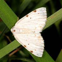White pinion spotted moth