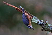Dec 12 - Nuthatch