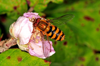Hover fly - Eupeodes nitens