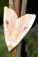Straw dot moth
