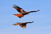 Jan 13 - Red kite