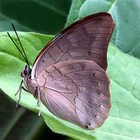 Banded king shoemaker butterfly - Archaeoprepona demophon