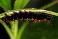 Malachite butterfly caterpillar