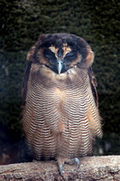 Malaysian brown wood owl