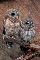 African wood owl - Strix woodfordii
