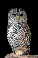 Chaco owl - Strix chacoensis