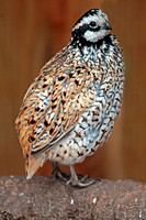 Mexican speckled quail