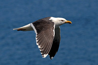 Great black backed gull - Larus marinus