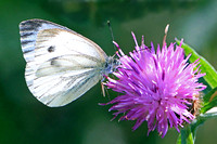 Small white butterfly - Pieris rapae