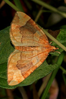 Northern spinach - Eulithis  populata