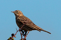 Meadow pipit - Anthus pratensis