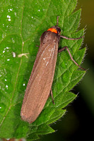 Red necked footman