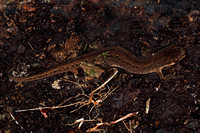 Common newt - Triterus vulgaris