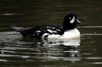 Barrows goldeneye - Bucephala islandica