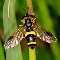 Hover fly - Chrystotoxum bicinctum