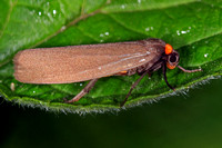 Red necked footman - Atolmis rubricollis