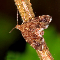 Common nettle tap moth