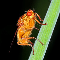 Orange dung fly