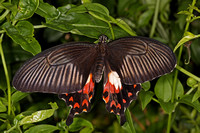 Common rose butterfly - Pachliopta aristolochiae
