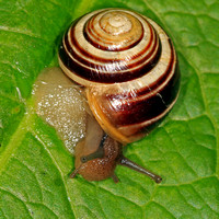 Brown lipped banded snail