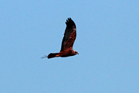Marsh harrier - Circus aeruginosis