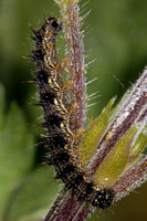 Small tortoiseshell caterpillar - Algais urticae