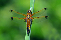 Four spotted chaser - Libellula quadrimaculata