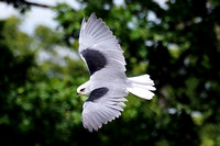 Black shouldered kite - Elanus exillaris