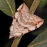 Treble bar moth