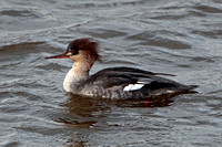 Red breasted merganser - Mergus serrator