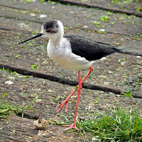 Black winged stilt - Himanopus himanopus