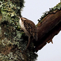 Tree creeper - Certhia familiaris