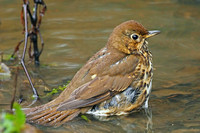 Song thrush - Turdus philomenus