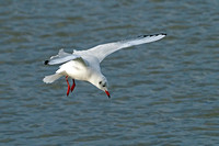 Black headed gull - Choicocephalus rudibundus