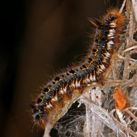 Drinker moth caterpillar - Euthrix potatoria