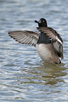 Lesser scaup x Tufted duck