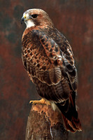 Red tailed buzzard - Buteo jamaicensis
