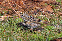Tree pipit - Anthus trivialis