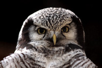 Northern hawk owl - Surnia ulula