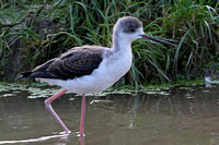 Black winged stilt - Himantopus himantopus