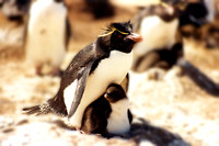 Rockhopper penguin - Eudyptes chrysocome