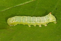Copper underwing caterpillar