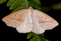 Brown silver lined moth - Petrophora chlorosate