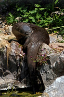 North American river otter - Lantra canadensis