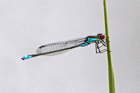 Small red eyed damselfly - Erythomma viridulum