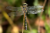 Gold ringed dragonfly