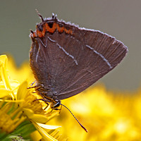White letter hairstreak - Strymonidia w-album