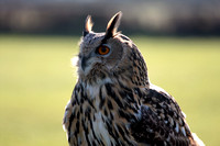 Indian eagle owl - Bubo bengalensis