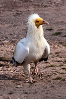 Egyptian vulture - Neophron pernopterus ginginianus